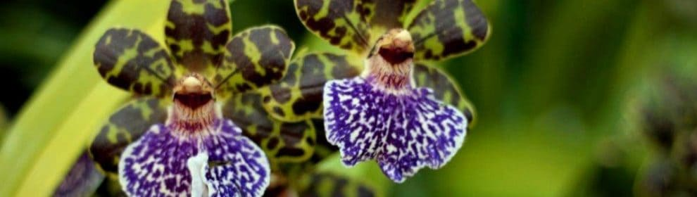 Stawell Orchid Society Summer Show